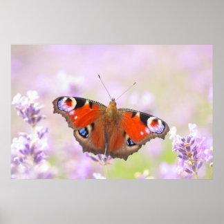 mariposa de pavo real sobre la lavanda póster