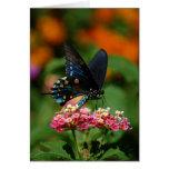 Mariposa de Pipevine Swallowtail Tarjetón