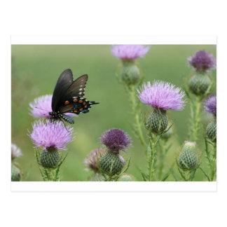 Mariposa de Spicebush Swallowtail - troilus de Postales