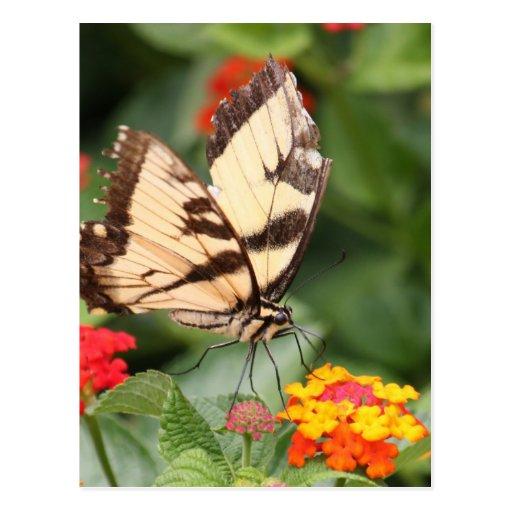 Mariposa de Swallowtail del dulce de la belleza y  Tarjetas Postales