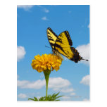 Mariposa de Swallowtail del tigre en una flor Tarjetas Postales