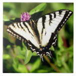 Mariposa de Swallowtail del tigre. Papilio glacus. Azulejo