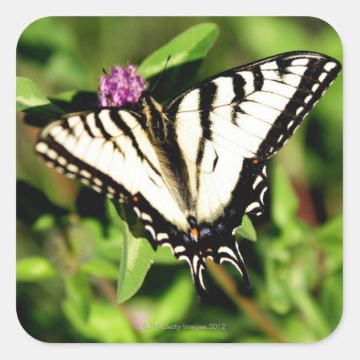 Mariposa de Swallowtail del tigre. Papilio glacus. Pegatina Cuadrada
