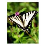 Mariposa de Swallowtail del tigre. Papilio glacus. Tarjeta Postal