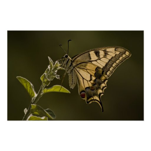 Mariposa de Swallowtail del tigre Posters