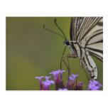 Mariposa de Swallowtail en la flor, Chiba Postal