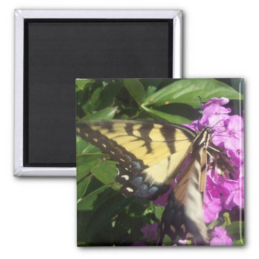 Mariposa de Swallowtail Imán Cuadrado