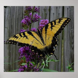 Mariposa de Swallowtail Póster