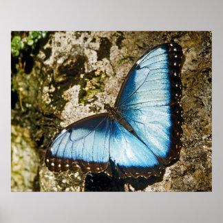 Mariposa del azul de Morpho Poster
