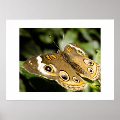 Mariposa del castaño de Indias Póster
