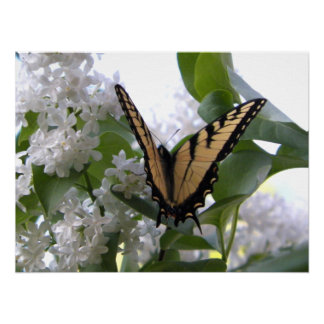 Mariposa del este de Swallowtail del tigre en la l Impresiones