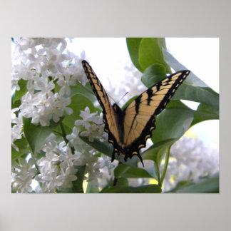 Mariposa del este de Swallowtail del tigre en la l Póster