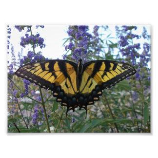Mariposa del este de Swallowtail del tigre Fotografías