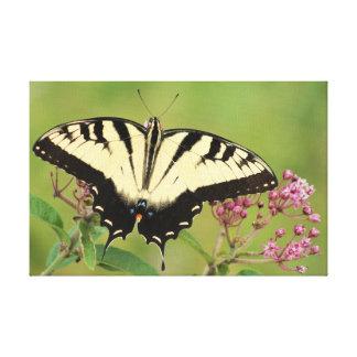 Mariposa del este de Swallowtail del tigre Impresión En Lienzo Estirada