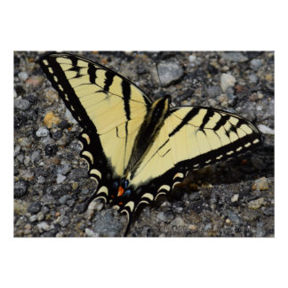Mariposa del este de Swallowtail del tigre Póster
