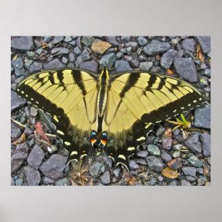 Mariposa del este masculina de Swallowtail del Póster