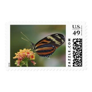 Mariposa del tigre, ismenius de Heliconius Envio
