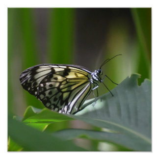 Mariposa delicada póster