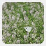 Mariposa en el tomillo de arrastramiento pegatina cuadrada