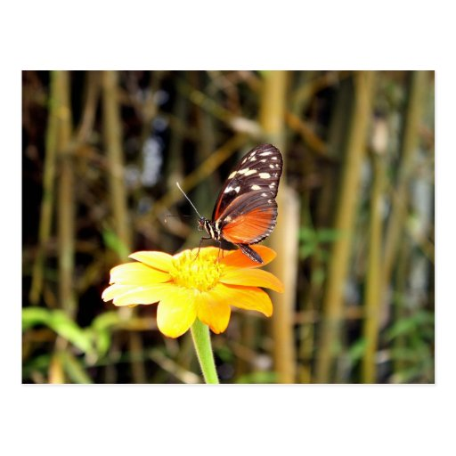 Mariposa en la margarita de Gerber Postales