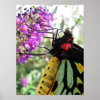 Mariposa gigante de Swallowtail en la flor Poster
