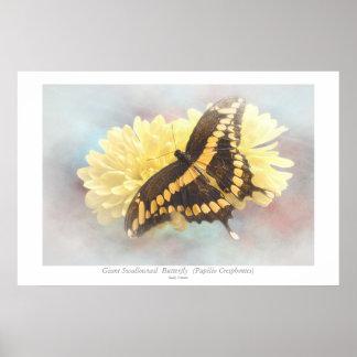 Mariposa gigante de Swallowtail Posters