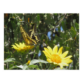Mariposa gigante de Swallowtail