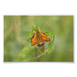 Mariposa grande del capitán impresiones fotograficas