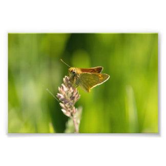 Mariposa grande del capitán arte con fotos