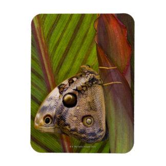 Mariposa grande del owlet (tamarindi de Opsiphanes Imanes De Vinilo