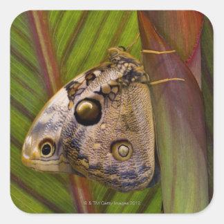 Mariposa grande del owlet (tamarindi de pegatina cuadrada