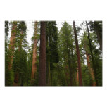 Mariposa Grove in Yosemite National Park Photo Print
