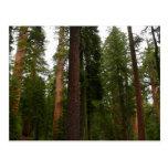 Mariposa Grove in Yosemite National Park Postcard