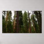 Mariposa Grove in Yosemite National Park Poster