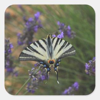 Mariposa - machaon de Papilio en la lavanda Pegatina Cuadrada