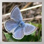 Mariposa masculina azul de la misión poster
