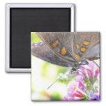 Mariposa negra de Swallowtail en el Buddleia Bush Imanes