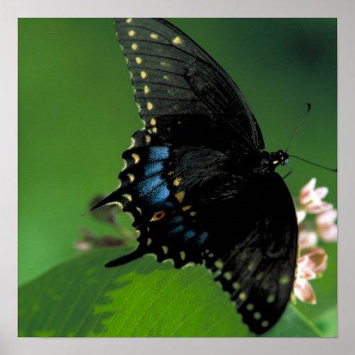 Mariposa negra de SwallowTail en la flor Impresiones