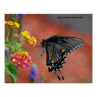 Mariposa negra de Swallowtail Póster