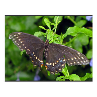 Mariposa negra de Swallowtail Postales