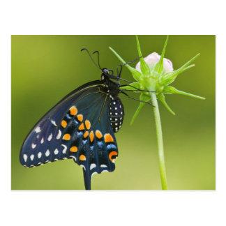 Mariposa negra de Swallowtail Tarjetas Postales