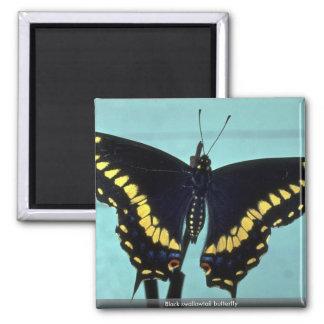 Mariposa negra del swallowtail imanes