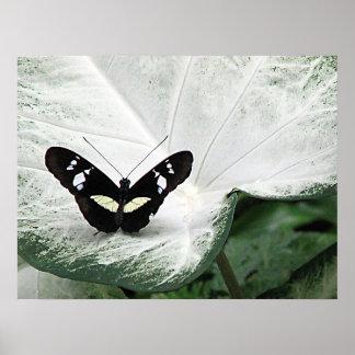 Mariposa negra en la hoja del Caladium Póster
