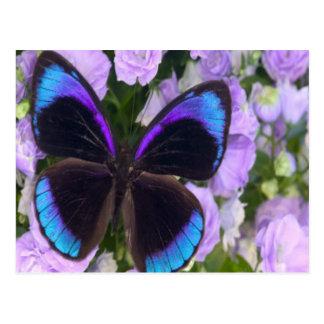 Mariposa negra, púrpura y azul postales