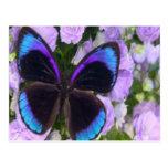 Mariposa negra, púrpura y azul tarjetas postales