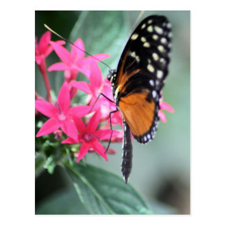 Mariposa negra y anaranjada postal