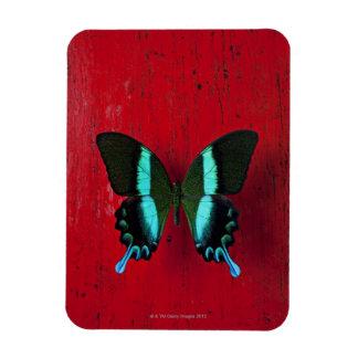 Mariposa negra y azul en la pared roja iman de vinilo