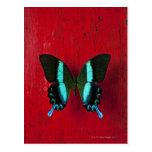 Mariposa negra y azul en la pared roja postal
