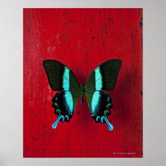 Mariposa negra y azul en la pared roja póster