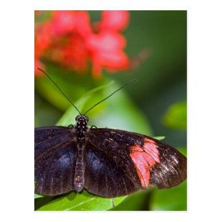 Mariposa negra y roja tarjeta postal